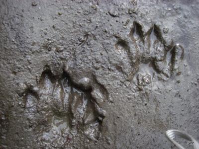 mud-tracks