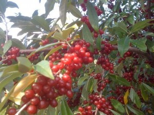 Autumn Olive Bush Closeup