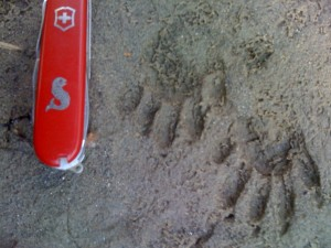 Raccoon Tracks
