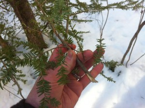 hemlock branch