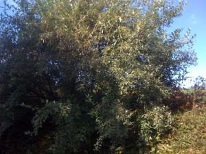 Autumn Olive Bush Full