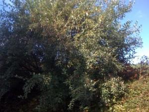 Autumn Olive Bush Full