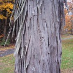 Hickory Tree